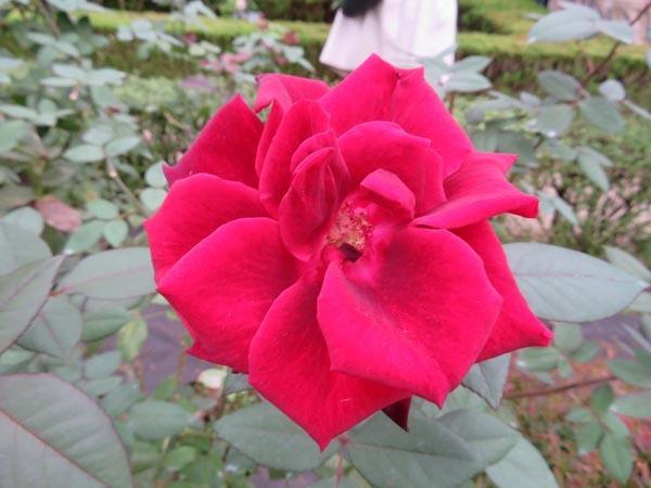 22日の川辺堀之内祭りと旧古河庭園・平塚亭と北とぴあと、日本のサーモン_e0133780_01072375.jpg
