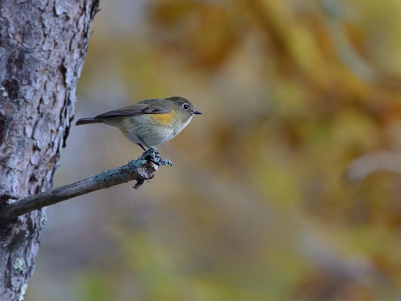 秋色のルリビタキ(雌/若鳥)_a0204089_5544832.jpg