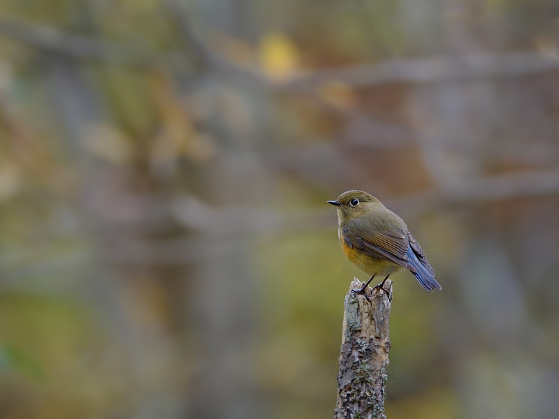 秋色のルリビタキ(雌/若鳥)_a0204089_55503.jpg