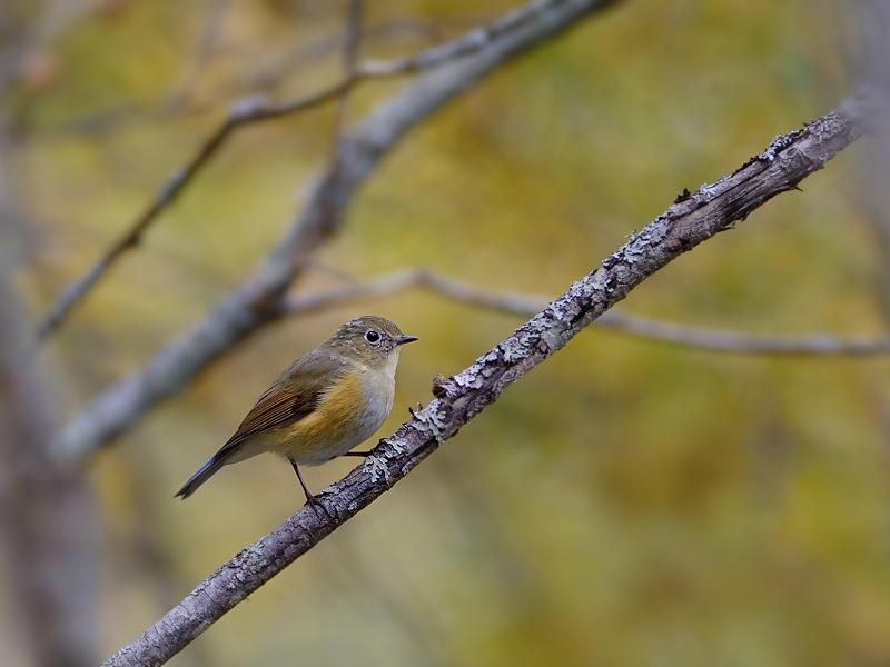 秋色のルリビタキ(雌/若鳥)_a0204089_5551733.jpg