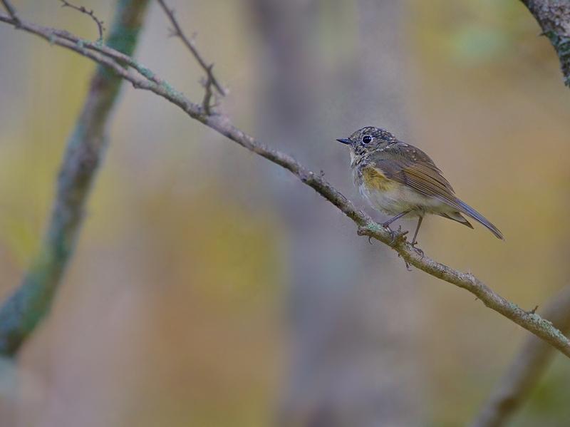 秋色のルリビタキ(雌/若鳥)_a0204089_5553255.jpg