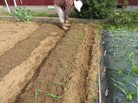 玉葱を植える・花苗を植える・白鳥飛来_a0203003_2024818.jpg