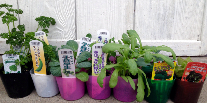 野菜の苗色々、西王母、石榴、まゆはけおもと…_b0087077_00431624.jpg