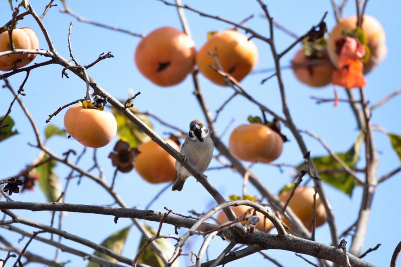 柿を目当てに_f0202686_21065017.jpg