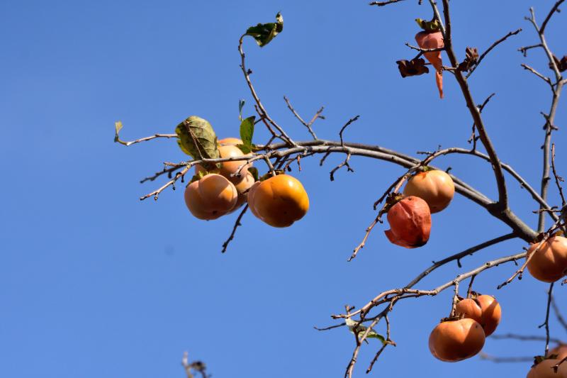 柿を目当てに_f0202686_21073351.jpg