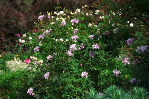 東武トレジャーガーデン館林の秋薔薇5_a0263109_16532513.jpg