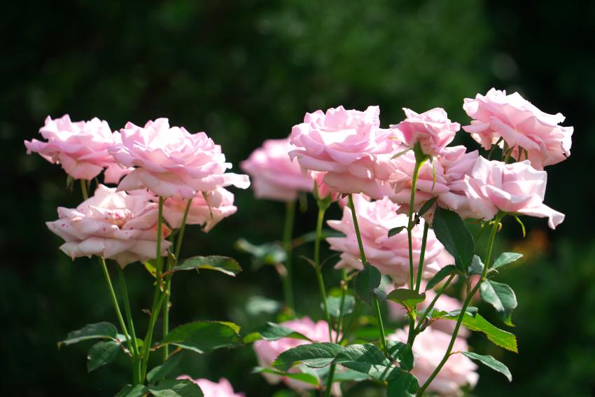 東武トレジャーガーデン館林の秋薔薇5_a0263109_16532556.jpg
