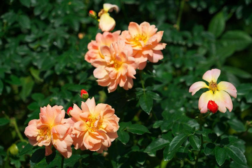 東武トレジャーガーデン館林の秋薔薇5_a0263109_16532861.jpg