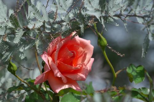東武トレジャーガーデン館林の秋薔薇5_a0263109_16532981.jpg