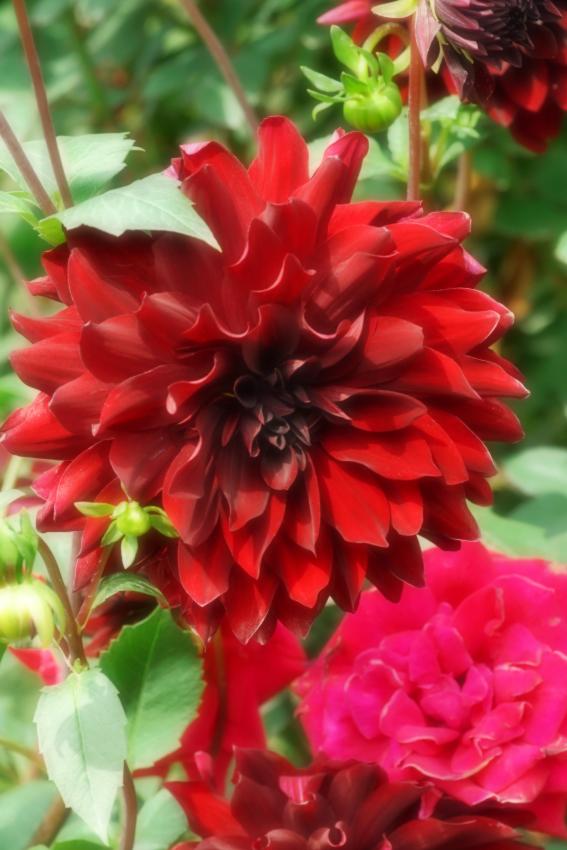 東武トレジャーガーデン館林の秋薔薇5_a0263109_16552513.jpg