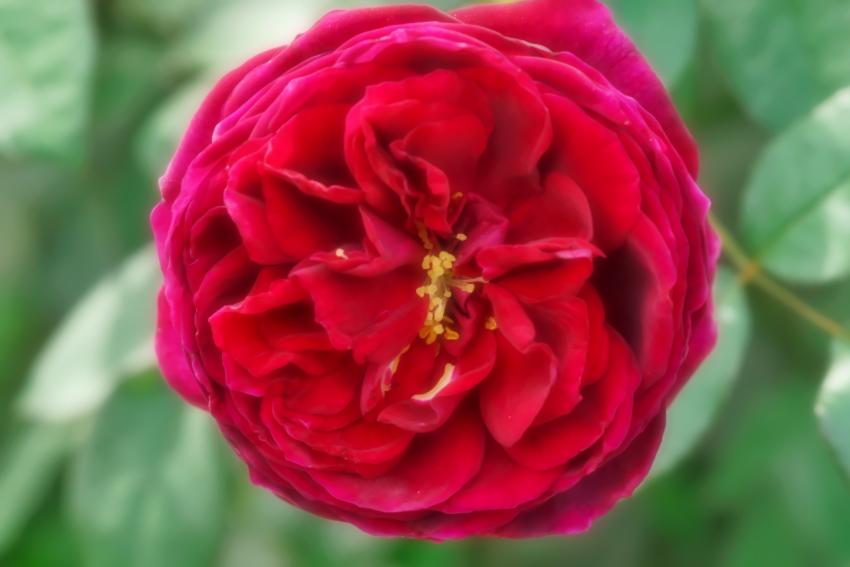 東武トレジャーガーデン館林の秋薔薇5_a0263109_16552554.jpg