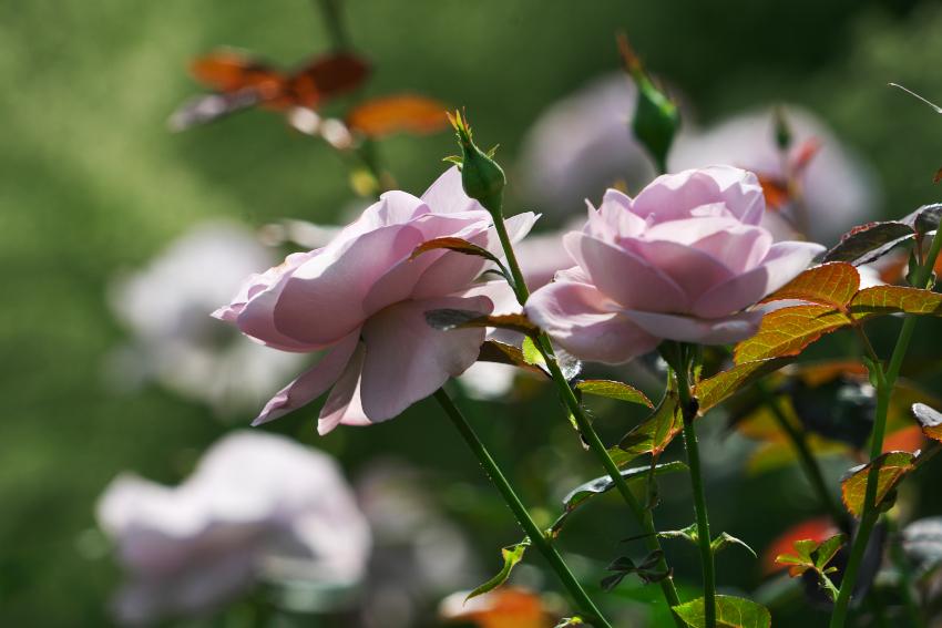 東武トレジャーガーデン館林の秋薔薇5_a0263109_16572693.jpg