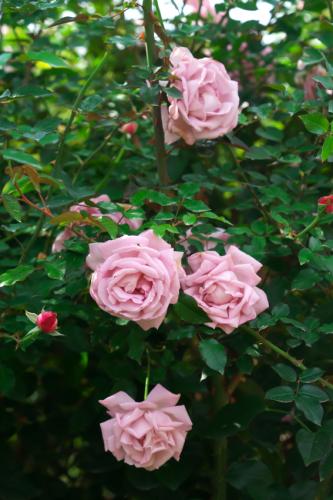 東武トレジャーガーデン館林の秋薔薇5_a0263109_16572765.jpg