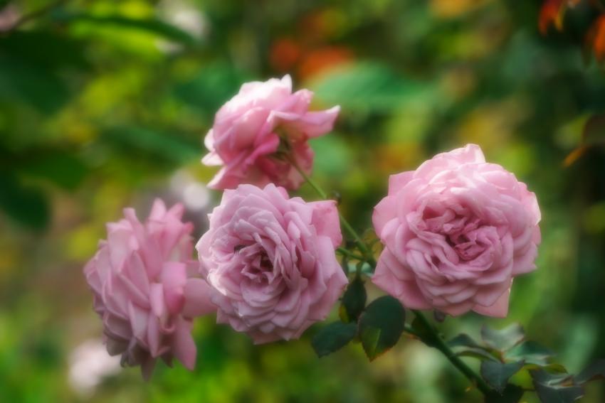 東武トレジャーガーデン館林の秋薔薇5_a0263109_16572854.jpg