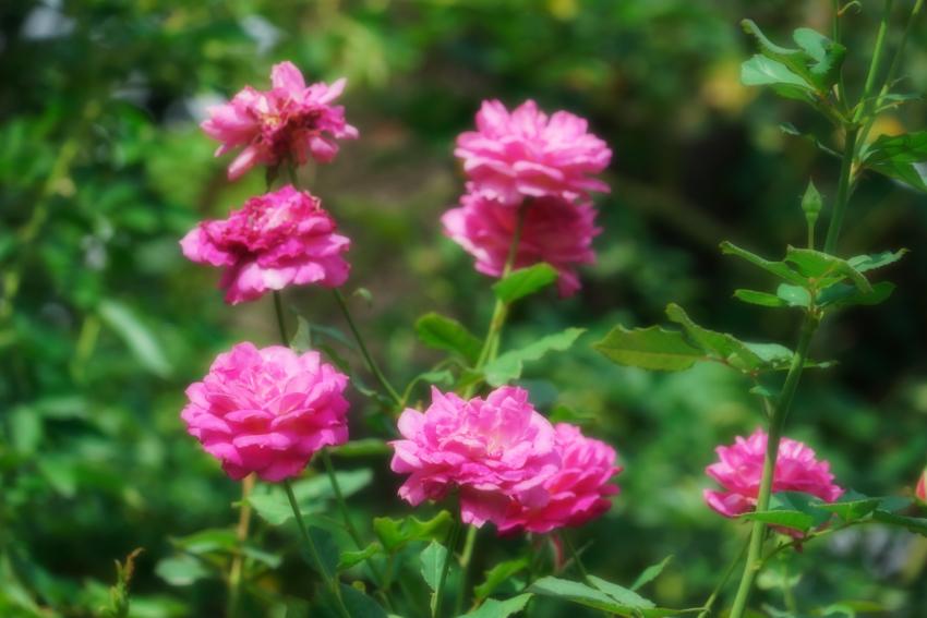 東武トレジャーガーデン館林の秋薔薇5_a0263109_16572894.jpg