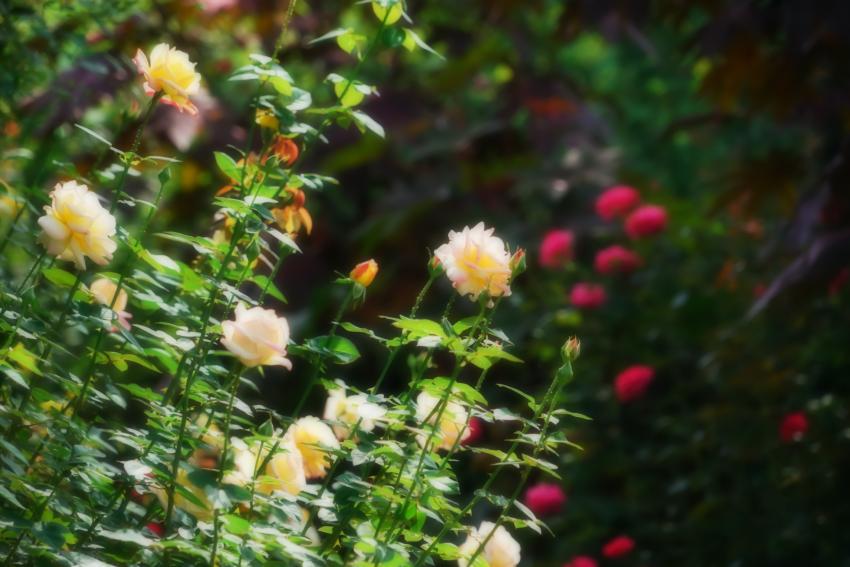 東武トレジャーガーデン館林の秋薔薇5_a0263109_16573000.jpg