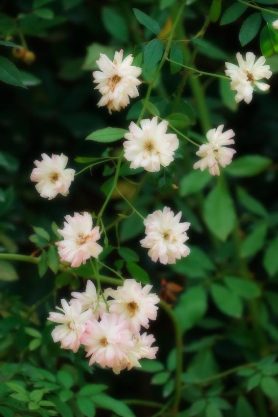 東武トレジャーガーデン館林の秋薔薇5_a0263109_16573189.jpg