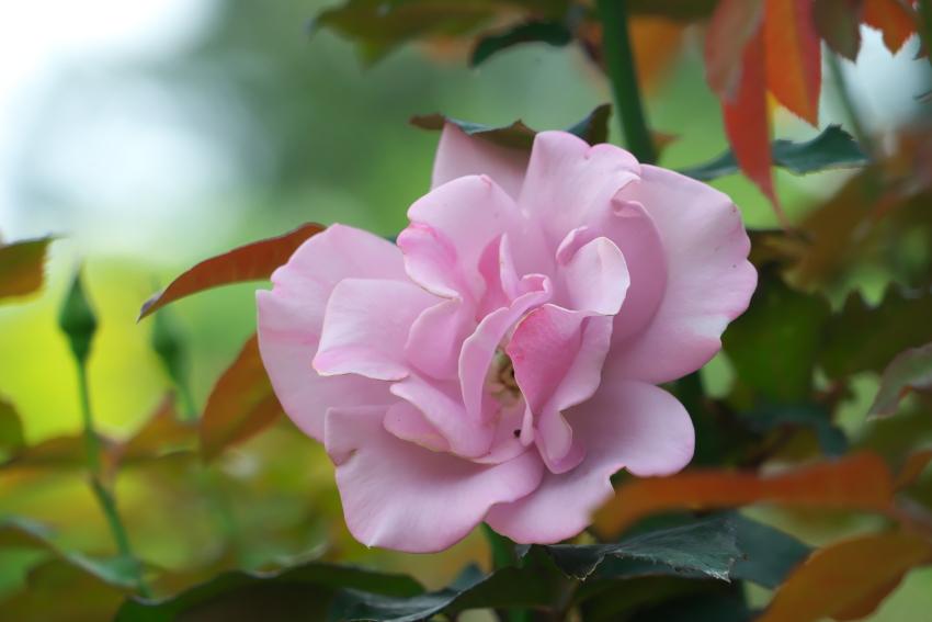 東武トレジャーガーデン館林の秋薔薇5_a0263109_16591766.jpg