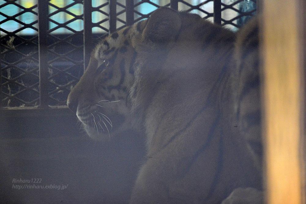 2016.10.29 宇都宮動物園☆トラのアズサさん【Tiger】_f0250322_21312090.jpg
