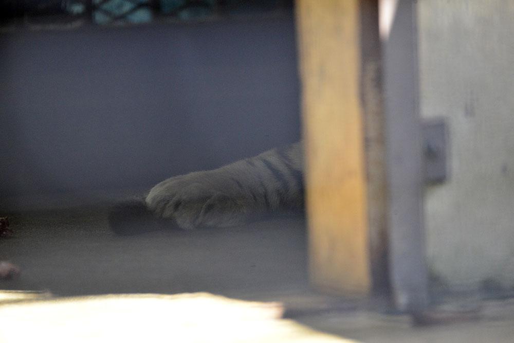 2016.10.29 宇都宮動物園☆トラのアズサさん【Tiger】_f0250322_21312459.jpg