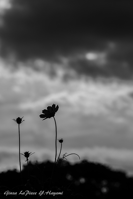 花のある風景 コスモスのシルエット_b0133053_00405598.jpg