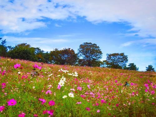 2016.10.29コスモスまつり(昭和記念公園)_e0321032_14563995.jpg