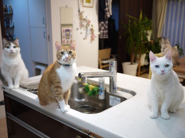猫のお留守番 リュウちゃんちびくんさくらちゃんチャイくん編。_a0143140_043367.jpg