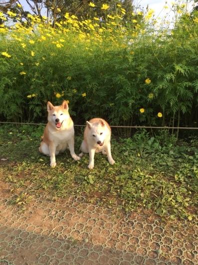 昭和記念公園のコスモス_d0263859_16444057.jpg