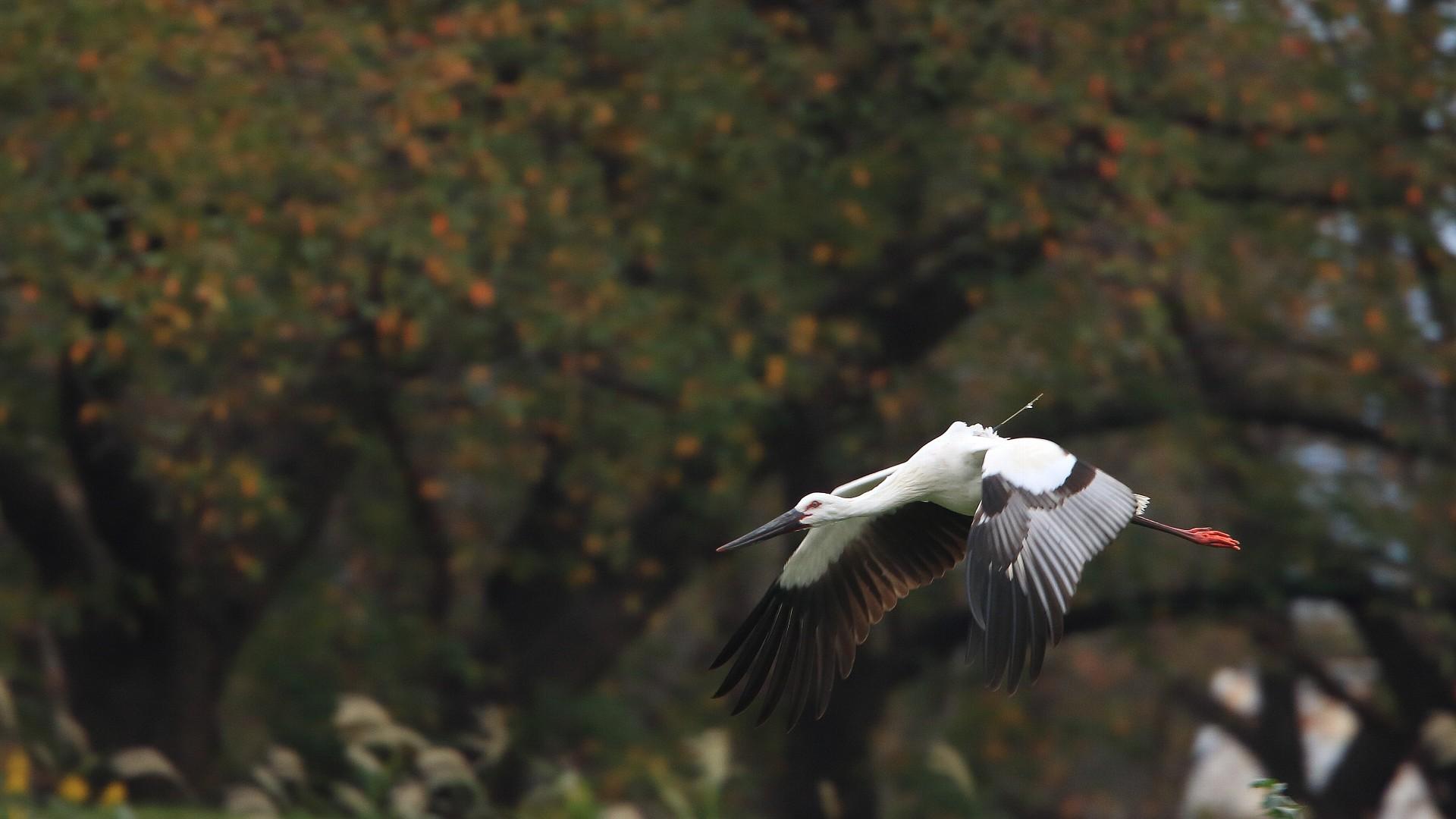 自宅そばの相模川でコウノトリに逢えました!_f0105570_21442234.jpg