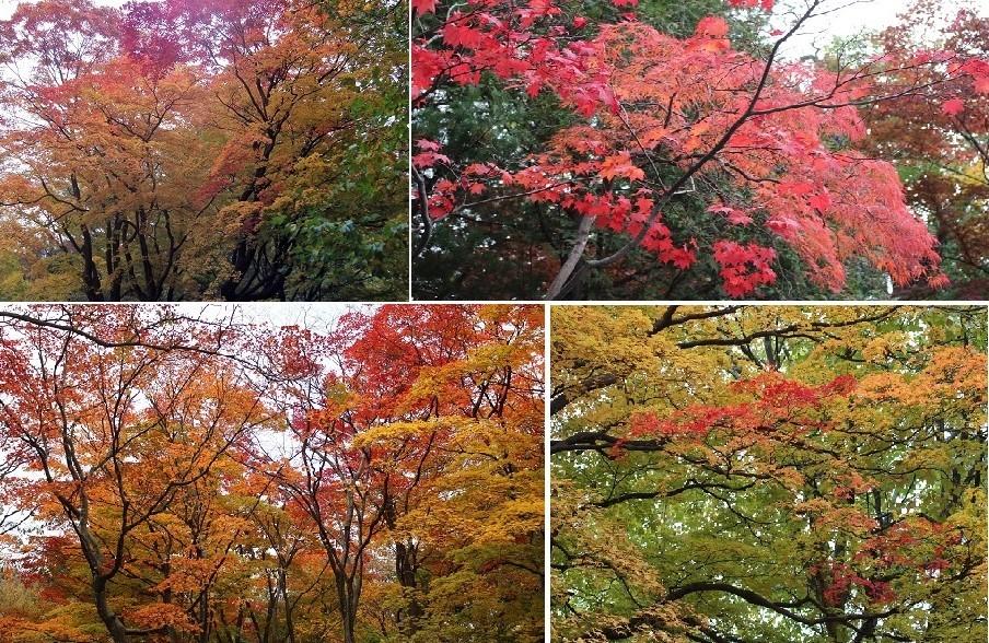「円山公園の紅葉(黄葉)」 オーソッドクスに行ってきました。_f0362073_19143711.jpg