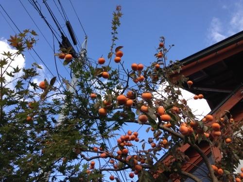 自宅の柿は豊作_e0054299_11071889.jpg
