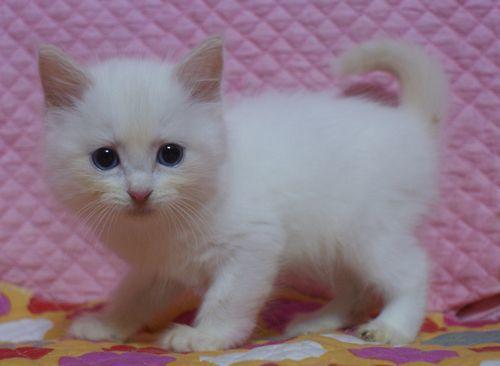 ラグドール子猫家族募集 9月10日生まれクリームポイントバイカラー坊や _e0033609_22003152.jpg