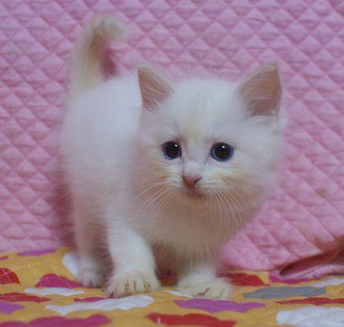 ラグドール子猫家族募集 9月10日生まれクリームポイントバイカラー坊や _e0033609_22010329.jpg