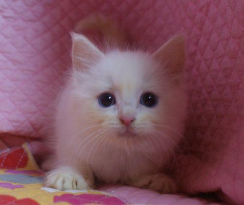 ラグドール子猫家族募集 9月10日生まれクリームポイントバイカラー坊や _e0033609_22011898.jpg