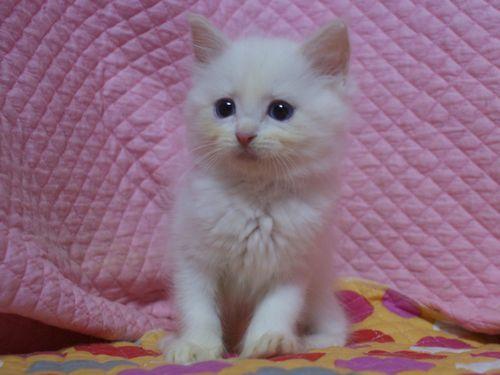 ラグドール子猫家族募集 9月10日生まれクリームポイントバイカラー坊や _e0033609_22013090.jpg