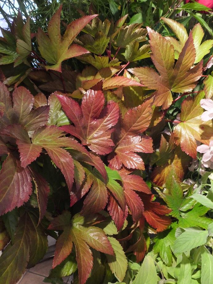 オークリーフ(紅葉と老爺柿)_f0049672_17432294.jpg
