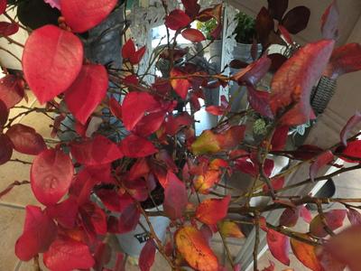 オークリーフ(紅葉と老爺柿)_f0049672_17513551.jpg