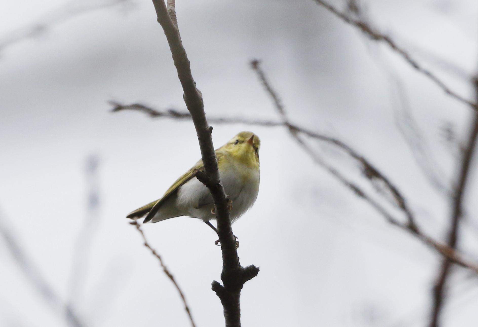モリムシクイ(超珍鳥との事です。)その1_f0239515_18132841.jpg