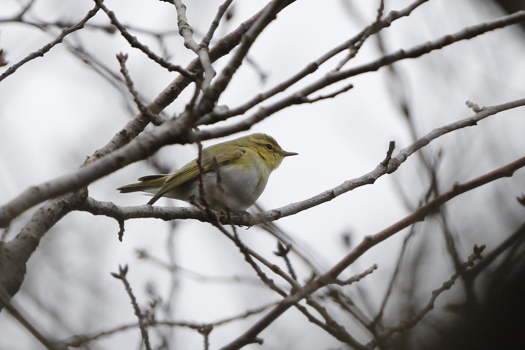 モリムシクイ(超珍鳥との事です。)その1_f0239515_1814692.jpg