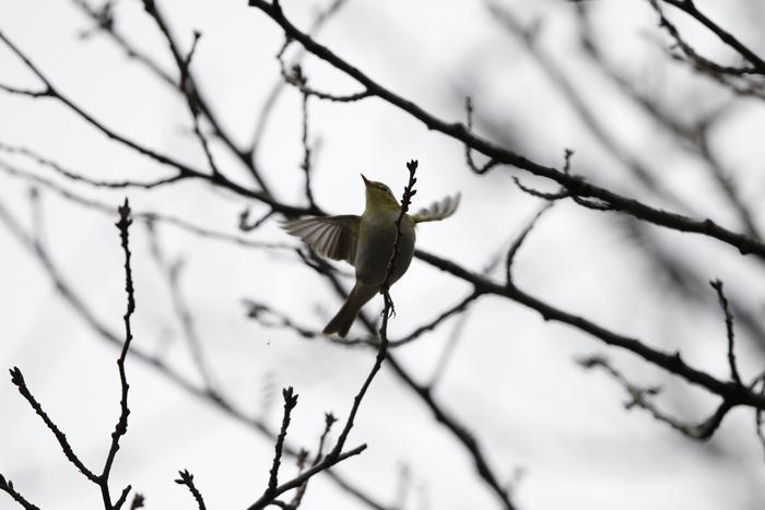 モリムシクイ(超珍鳥との事です。)その2_f0239515_21313266.jpg