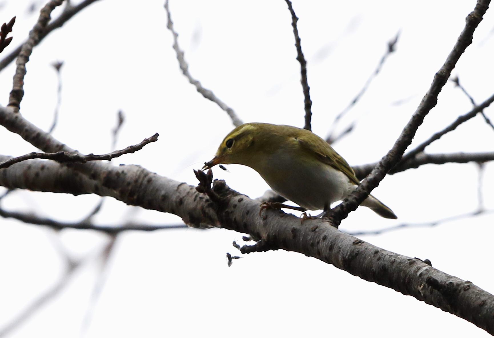 モリムシクイ(超珍鳥との事です。)その2_f0239515_21412568.jpg