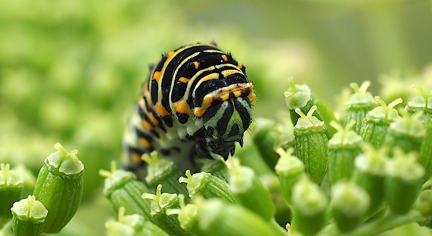 キアゲハの幼虫ふたたび(2016年11月2日) _d0303129_705388.jpg