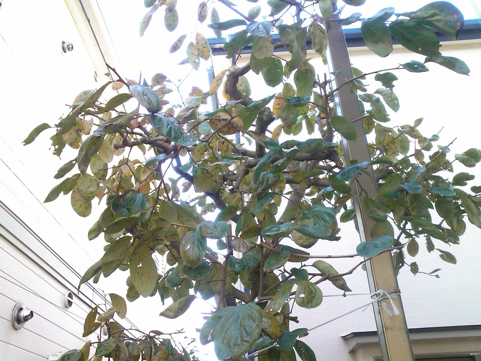 柿は超不作...です。_b0137932_1211482.jpg