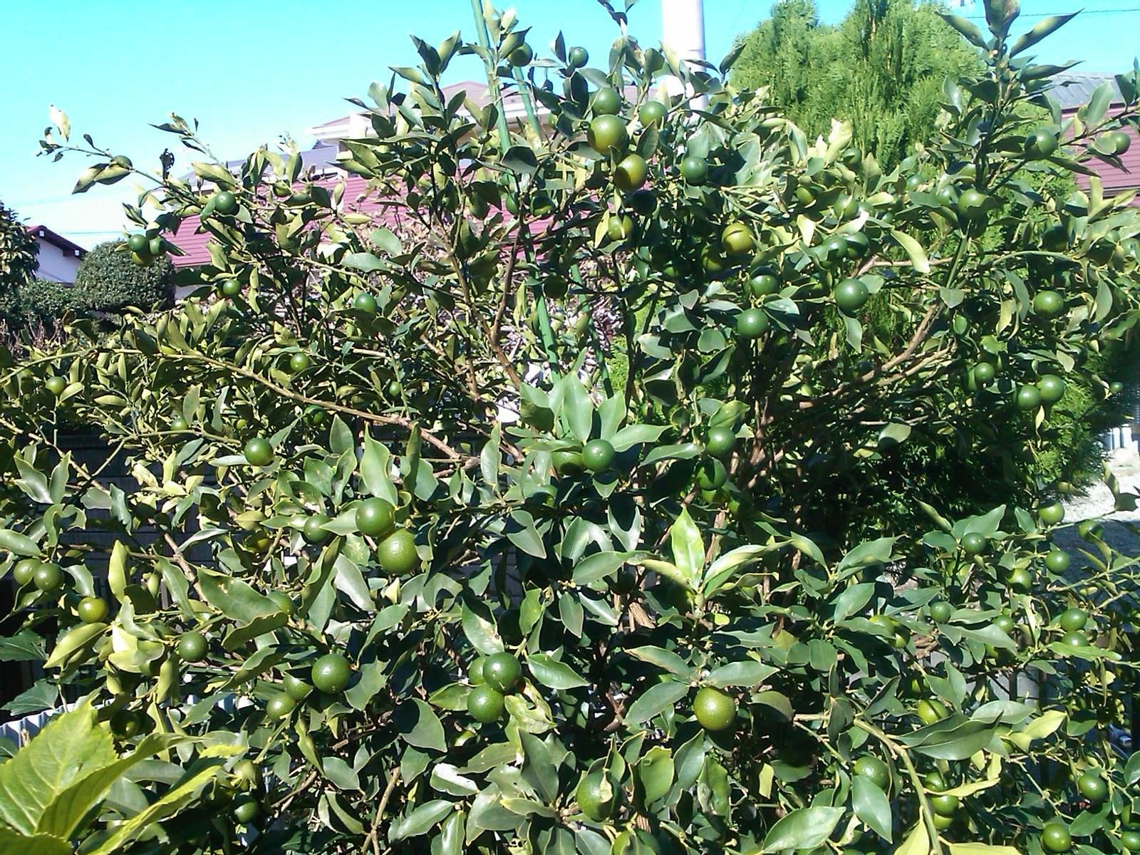 柿は超不作...です。_b0137932_122401.jpg