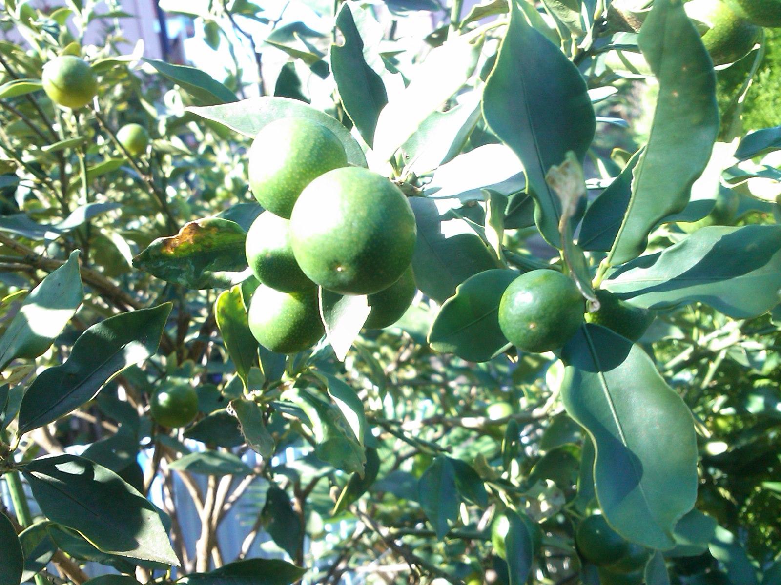 柿は超不作...です。_b0137932_1233475.jpg