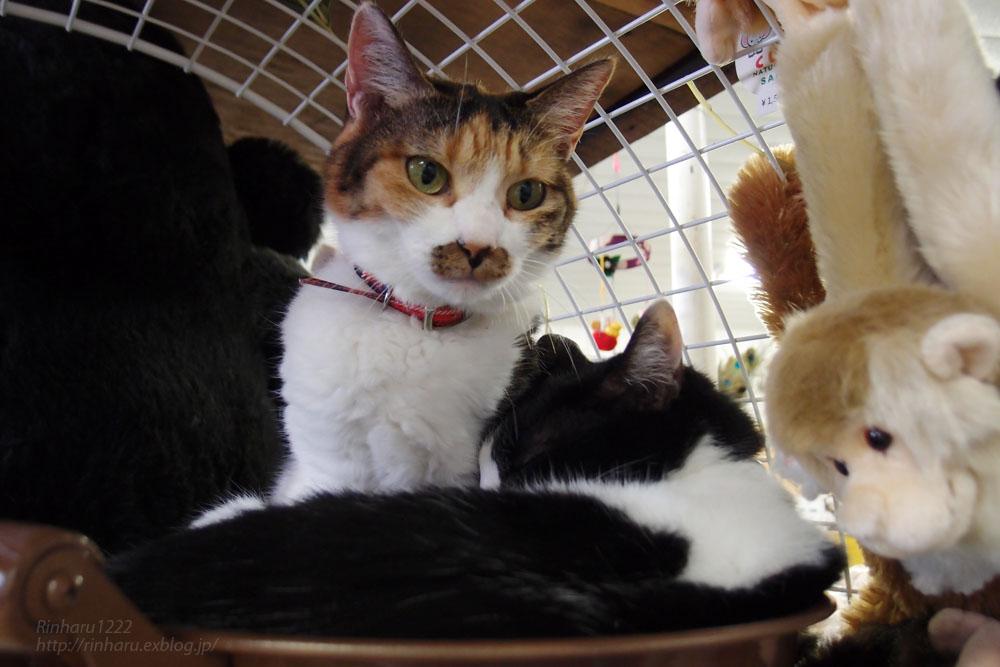 2016.9.24 東北サファリパーク☆猫のはれちゃんとあめくん【Cat】_f0250322_20251518.jpg