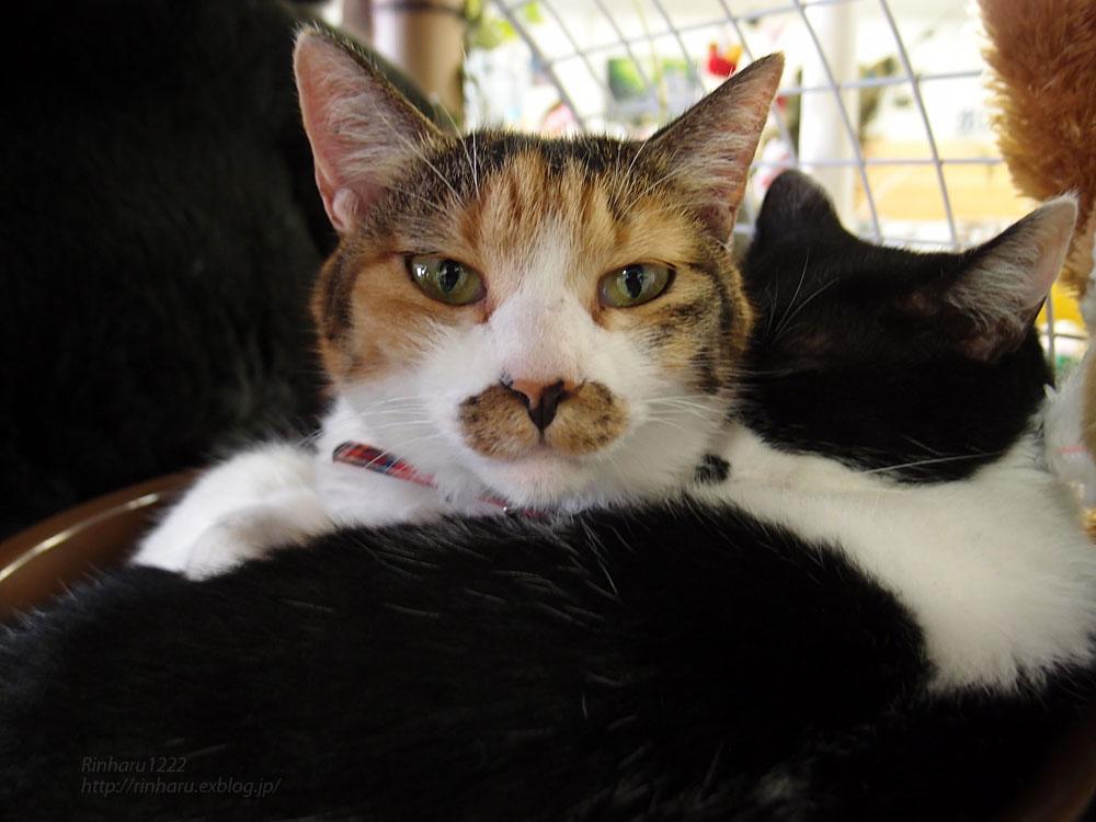 2016.9.24 東北サファリパーク☆猫のはれちゃんとあめくん【Cat】_f0250322_20251962.jpg