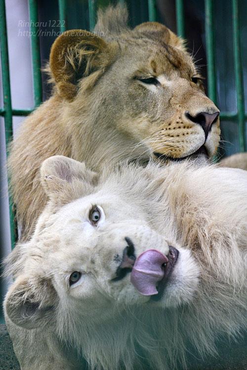 2016.9.24 東北サファリパーク☆ホワイトライオンのポップとライオンののぞむ【Lions】_f0250322_20531439.jpg