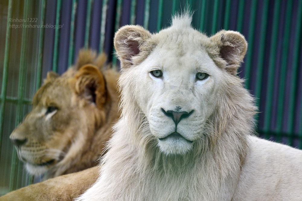 2016.9.24 東北サファリパーク☆ホワイトライオンのポップとライオンののぞむ【Lions】_f0250322_20532332.jpg