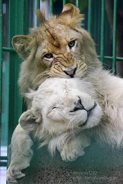 2016.9.24 東北サファリパーク☆ホワイトライオンのポップとライオンののぞむ【Lions】_f0250322_2053855.jpg